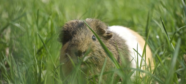 Parasitenschutz für Kaninchen und Meerschweinchen