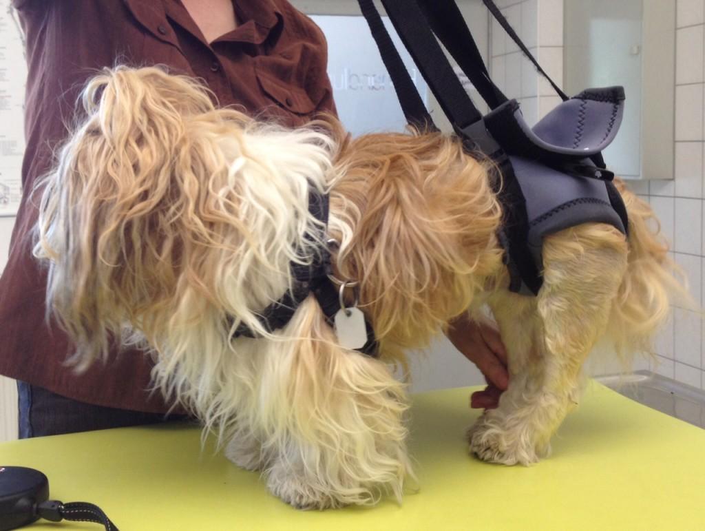 Gehhilfe für Hunde mit Bandscheibenvorfall