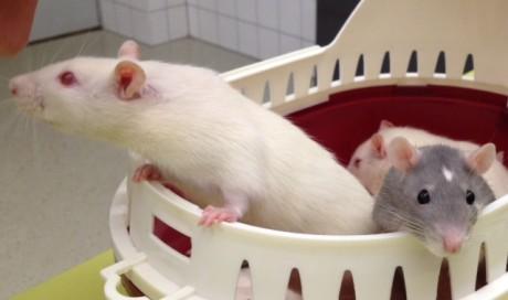 Rattenbande